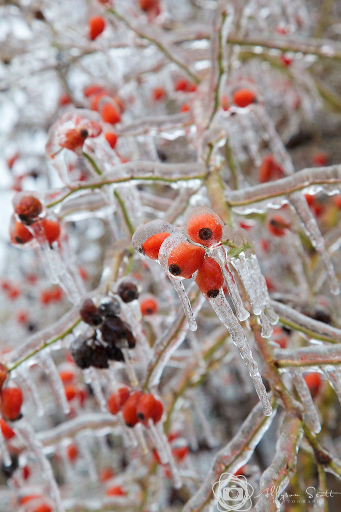 Berries after ice storm
