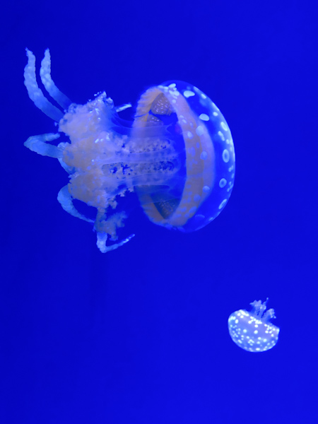 Jellyfish at Ripley's Aquarium © Allyson Scott